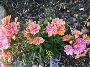 Lewisia, northwest native flower